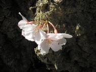 Sakuratodoke