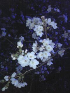 サクラ咲く